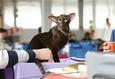 Международная выставка кошек «Золотая Кошка Беларуси — 2018» 3
