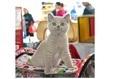 Международная выставка кошек «Золотая Кошка Беларуси — 2018» 8
