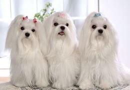 Скидка для владельцев собак породы мальтийская болонка