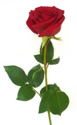 Акция «Роза от 15 000 руб.»
