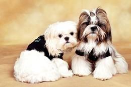 Скидки до 25% для владельцев собак  породы Ши-тцу