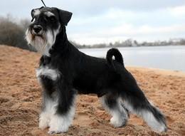 Скидки до 25% для владельцев собак породы цвергшнауцер