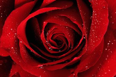 Много роз и девушка фото
