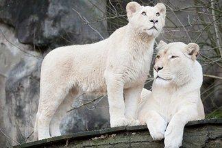 В Минском зоопарке появились белые лев и львица