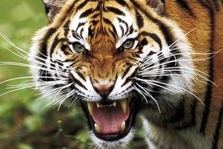 Фотофакт: у входа в минский ресторан поставили клетку с живым тигром