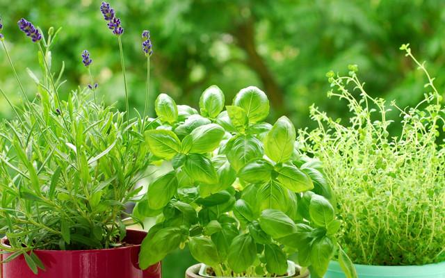 Как вырастить пекинскую капусту в домашних условиях, в том числе на балконе и подоконнике, а также как посадить семена и кочерыжку?