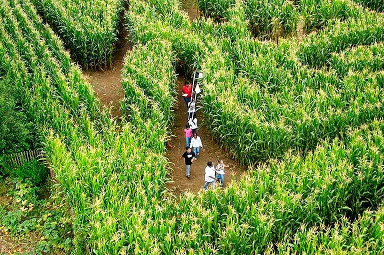 Летом откроется 1-ый в Белоруссии кукурузный лабиринт